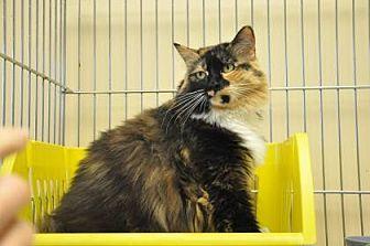 Domestic Mediumhair/Domestic Shorthair Mix Cat for adoption in Pompano Beach, Florida - Roberta