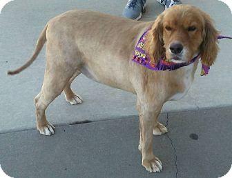 Cocker Spaniel/Labrador Retriever Mix Dog for adoption in Bonner Springs, Kansas - Cody