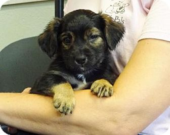 Spaniel (Unknown Type) Mix Puppy for adoption in Lathrop, California - Reece