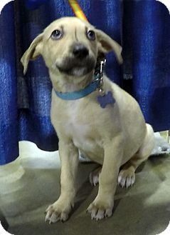 Shepherd (Unknown Type)/Terrier (Unknown Type, Medium) Mix Puppy for adoption in Detroit, Michigan - Dalton-Adopted!