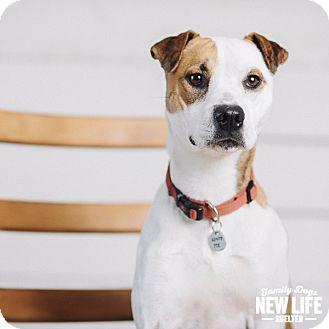 Pit Bull Terrier/Shar Pei Mix Dog for adoption in Portland, Oregon - Shrimp