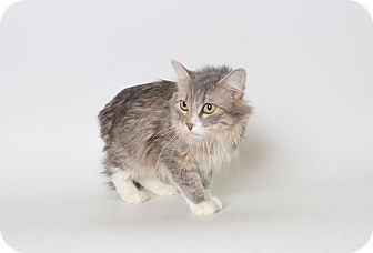 Domestic Mediumhair Cat for adoption in Fruit Heights, Utah - Miss Kitty