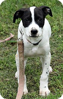 Setter (Unknown Type) Mix Puppy for adoption in Foster, Rhode Island - Bailey