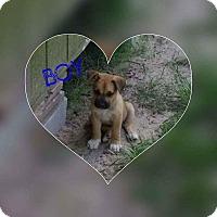 Adopt A Pet :: Evander boxer - Hanover, PA