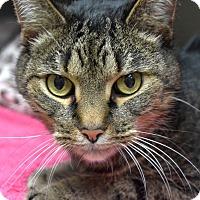 Adopt A Pet :: Suzy Q - Wheaton, IL