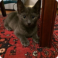Domestic Shorthair Kitten for adoption in Wayne, New Jersey - Blue