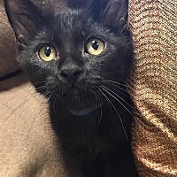 Domestic Mediumhair Kitten for adoption in Los Angeles, California - Cole