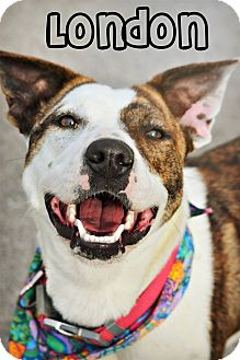 Pointer Mix Dog for adoption in Cleveland, Tennessee - London