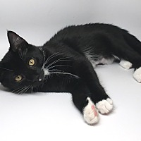 Adopt A Pet :: Lt Licorice - Newtown, CT
