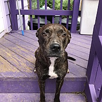 Labrador Retriever/Pit Bull Terrier Mix Dog for adoption in HASKELL, New Jersey - Brandi