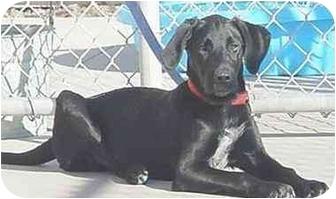 Retriever (Unknown Type) Mix Dog for adoption in Austin, Minnesota - Toby