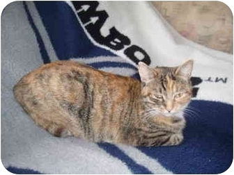 Domestic Shorthair Cat for adoption in Hamburg, New York - Hallie