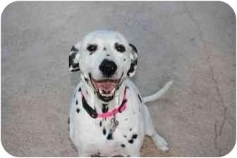 Dalmatian Dog for adoption in League City, Texas - Weiser