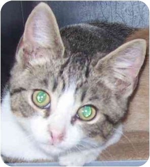 Domestic Shorthair Kitten for adoption in Annapolis, Maryland - Benny
