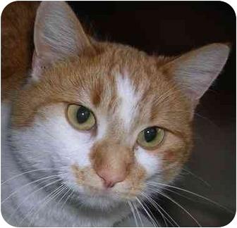 Domestic Shorthair Cat for adoption in HARRISONVILLE, Missouri - Branson