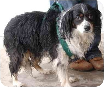 Cavalier King Charles Spaniel Mix Dog for adoption in Inman, South Carolina - Misty
