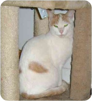 Domestic Shorthair Cat for adoption in Etobicoke, Ontario - Mr. Eddie