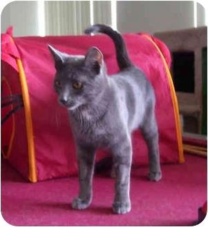 Russian Blue Cat for adoption in Okotoks, Alberta - Blue
