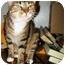 Photo 1 - Domestic Shorthair Cat for adoption in Cedar Creek, Texas - Bella