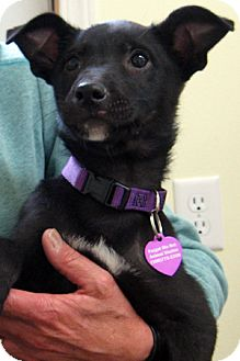 Catahoula Leopard Dog/Dachshund Mix Puppy for adoption in Republic, Washington - Cleo