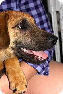 German Shepherd Dog/Labrador Retriever Mix Puppy for adoption in Miami, Florida - Simba