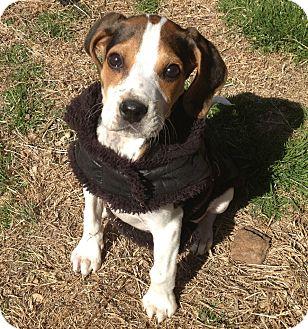 Treeing Walker Coonhound Mix Puppy for adoption in East Hartford, Connecticut - sherlock
