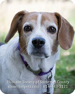 Beagle Mix Dog for adoption in Somerset, Pennsylvania - Queeny