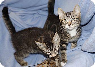 Domestic Shorthair Kitten for adoption in Berlin, Connecticut - Lenny & Joe