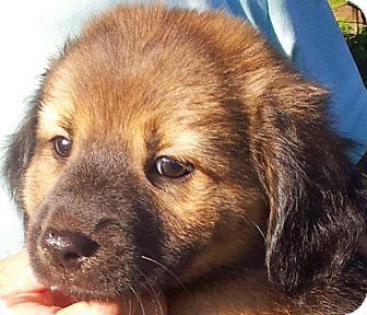 Terrier (Unknown Type, Medium) Mix Puppy for adoption in Groton, Massachusetts - Milkshake