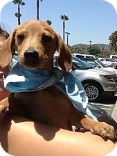 Cocker Spaniel/Dachshund Mix Puppy for adoption in Santee, California - Davie & Donny