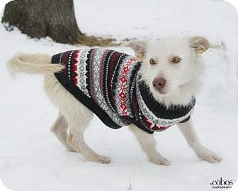 Westie, West Highland White Terrier Mix Dog for adoption in Brooklyn, New York - Klaus