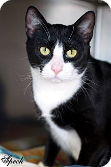 Domestic Shorthair Cat for adoption in Manahawkin, New Jersey - Speck