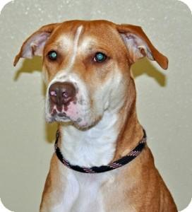 Pit Bull Terrier Mix Dog for adoption in Port Washington, New York - Lola