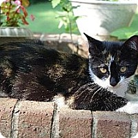 Domestic Shorthair Cat for adoption in Huddleston, Virginia - Foxie Roxie