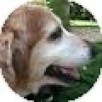 Adopt A Pet :: Sugar - Denver, CO