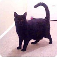 Adopt A Pet :: Licorish - Greenville, SC