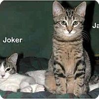 Adopt A Pet :: Joker - Portland, OR