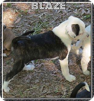 Boston Terrier Mix Puppy for adoption in Morrilton, Arkansas - Blaze