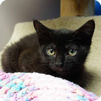 Domestic Shorthair Kitten for adoption in Naperville, Illinois - Molly