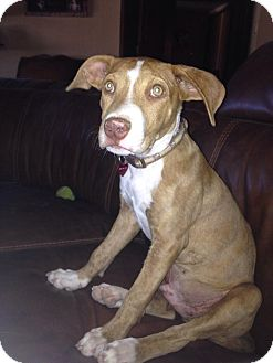 American Pit Bull Terrier Mix Puppy for adoption in Gilbert, Arizona - Ryder
