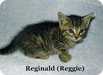 Domestic Shorthair Kitten for adoption in Bentonville, Arkansas - Reginald
