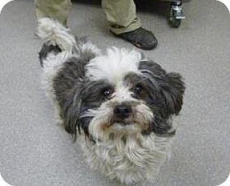 Shih Tzu Mix Dog for adoption in Truckee, California - Indy