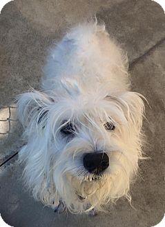 Schnauzer (Miniature) Dog for adoption in Oak Ridge, New Jersey - Gigi