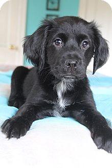 Golden Retriever/Labrador Retriever Mix Puppy for adoption in Southington, Connecticut - Diaz