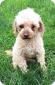 Poodle (Toy or Tea Cup) Dog for adoption in Fairview Heights, Illinois - Tango