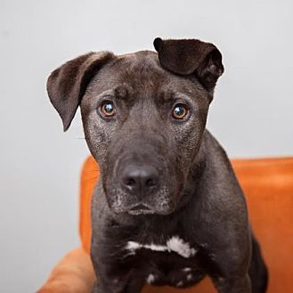 American Staffordshire Terrier Mix Dog for adoption in Mission Hills, California - Scoobie