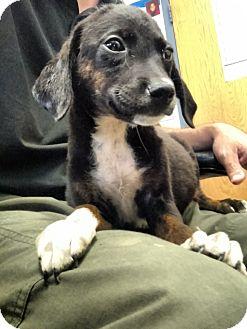 Beagle Mix Puppy for adoption in Franklin, Georgia - 36916