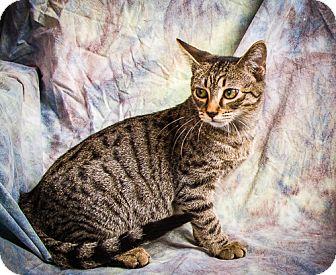 Domestic Shorthair Kitten for adoption in Anna, Illinois - WYNTER