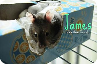 Hamster for adoption in Hamilton, Ontario - James