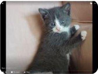 Russian Blue Kitten for adoption in Newtown, Connecticut - Blaze